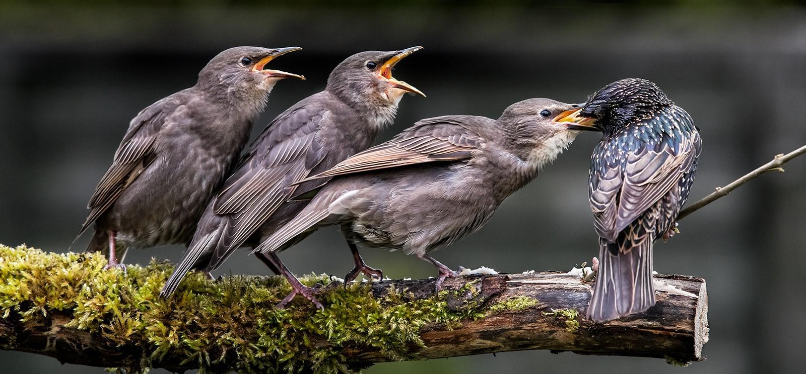 Three Juvenile Starlings feeding