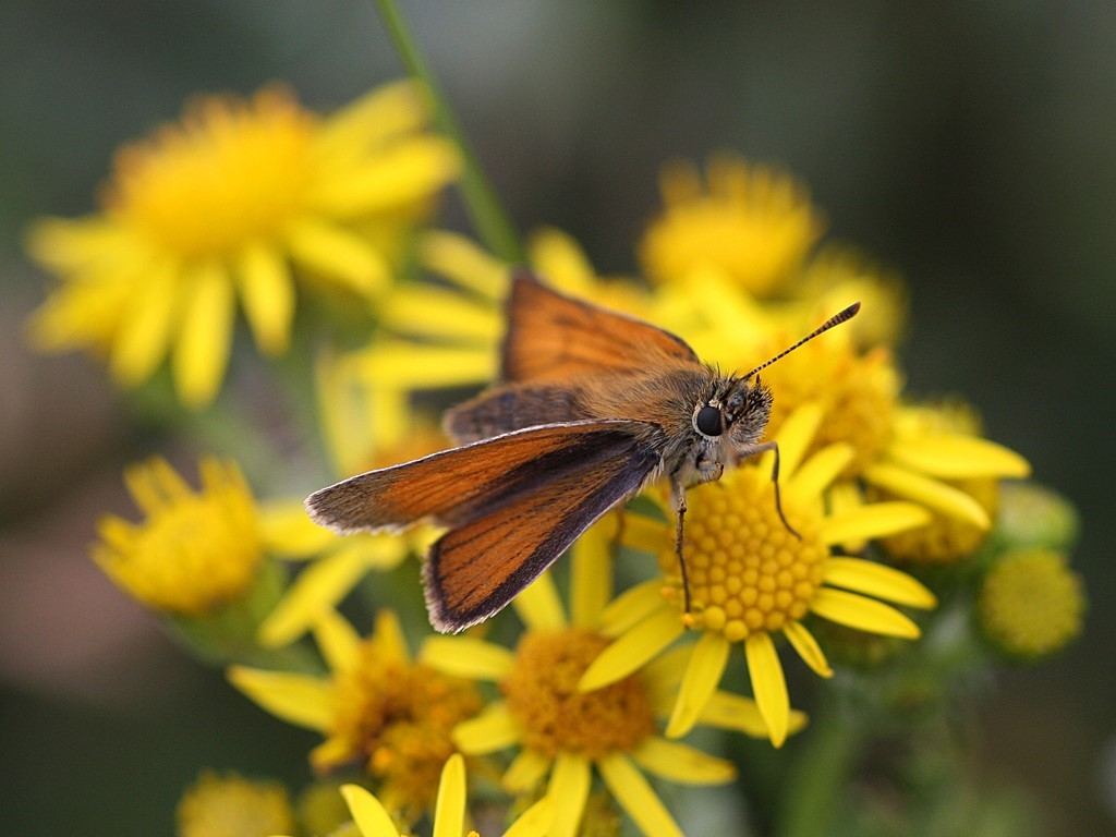 small skipper on ragwort