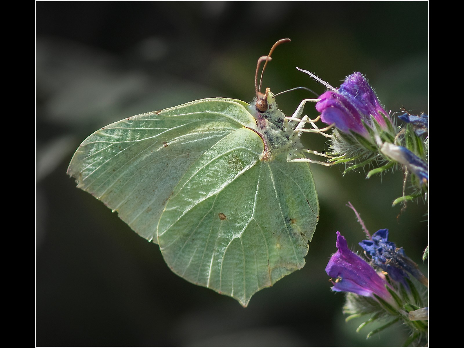 Brimstone Butterfly Feeding on Wild Flower