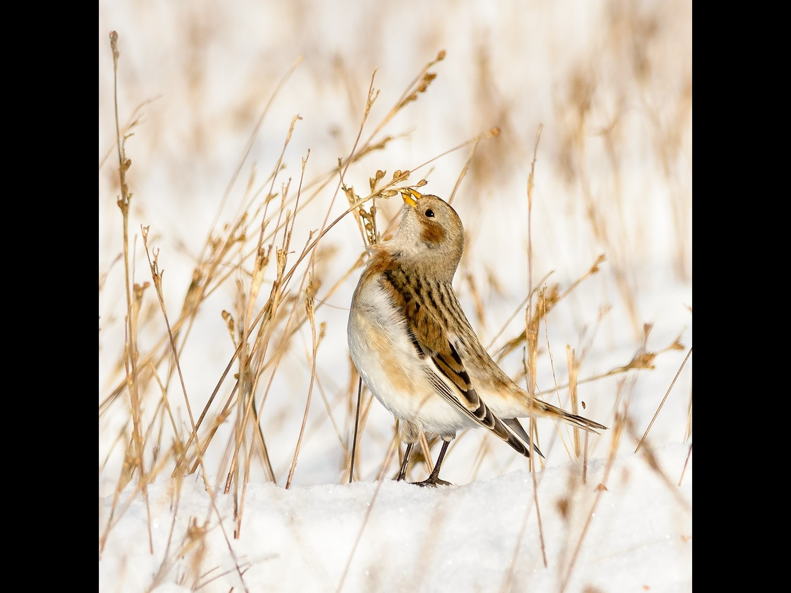 Snow Bunting - Pendle Hill