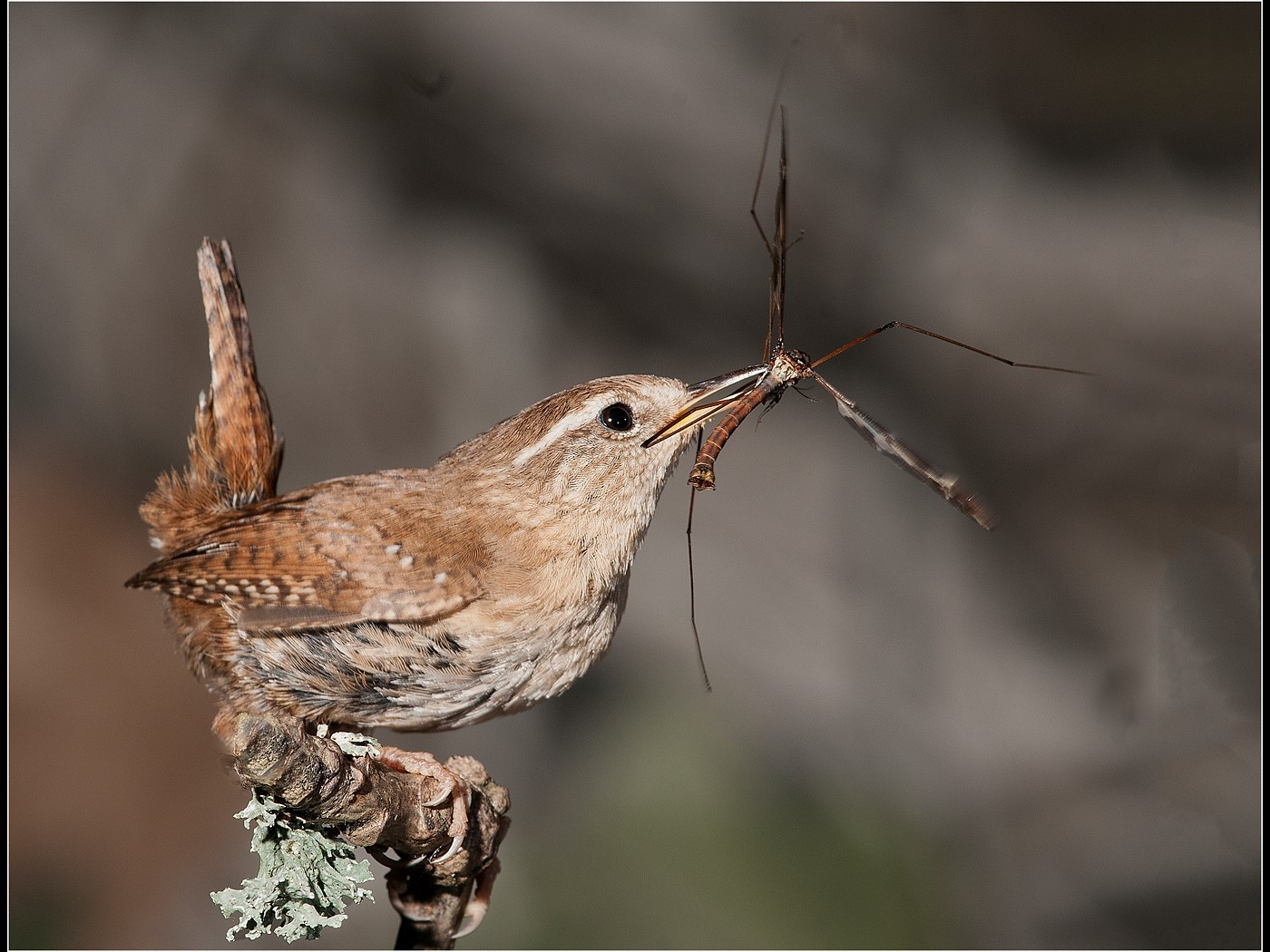 Wren and Crane Fly