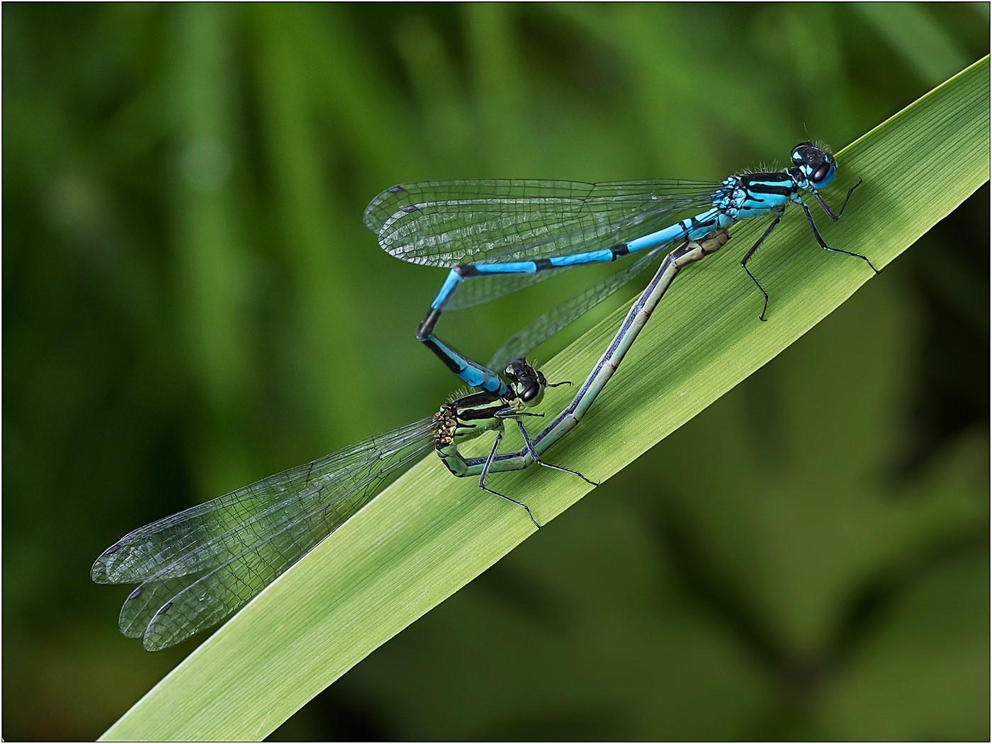Azure Damselflies - Mating