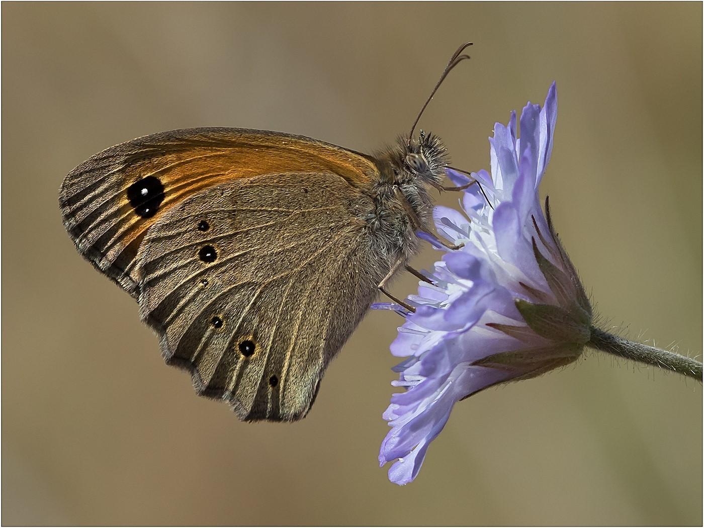 Gatekeeper Butterfly on Scabious