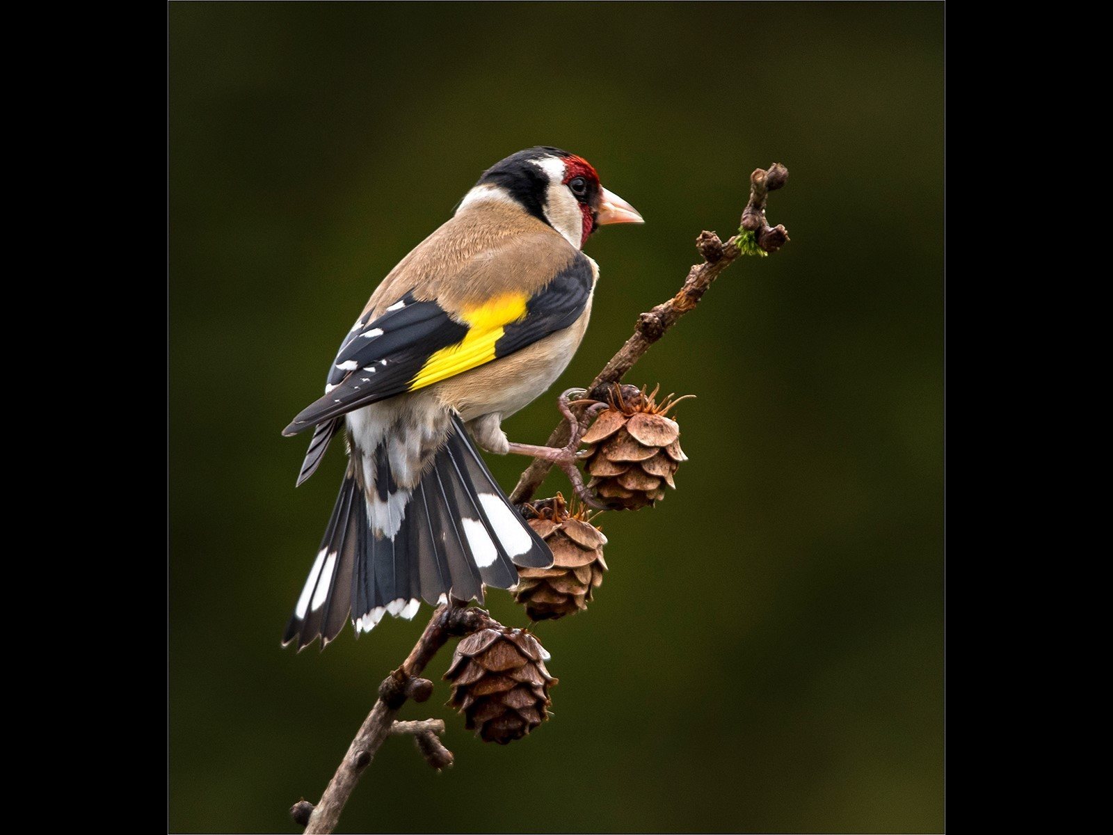 Goldfinch on a pinecone twig