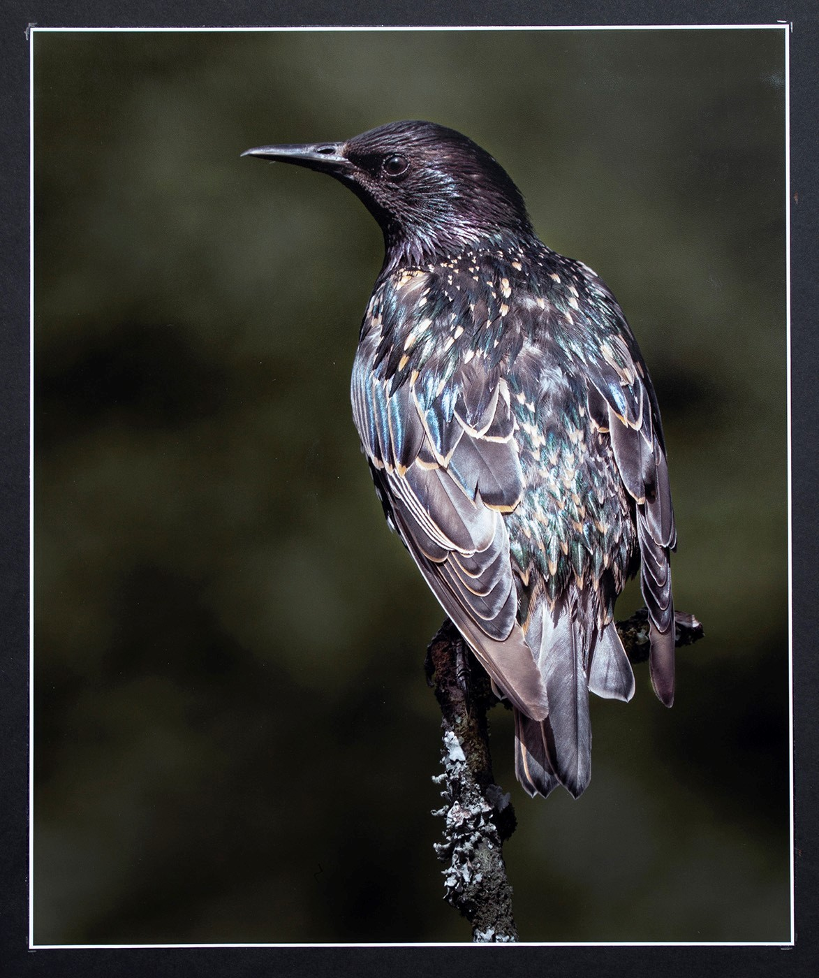 Colour and Feather Detail of a Starling-2