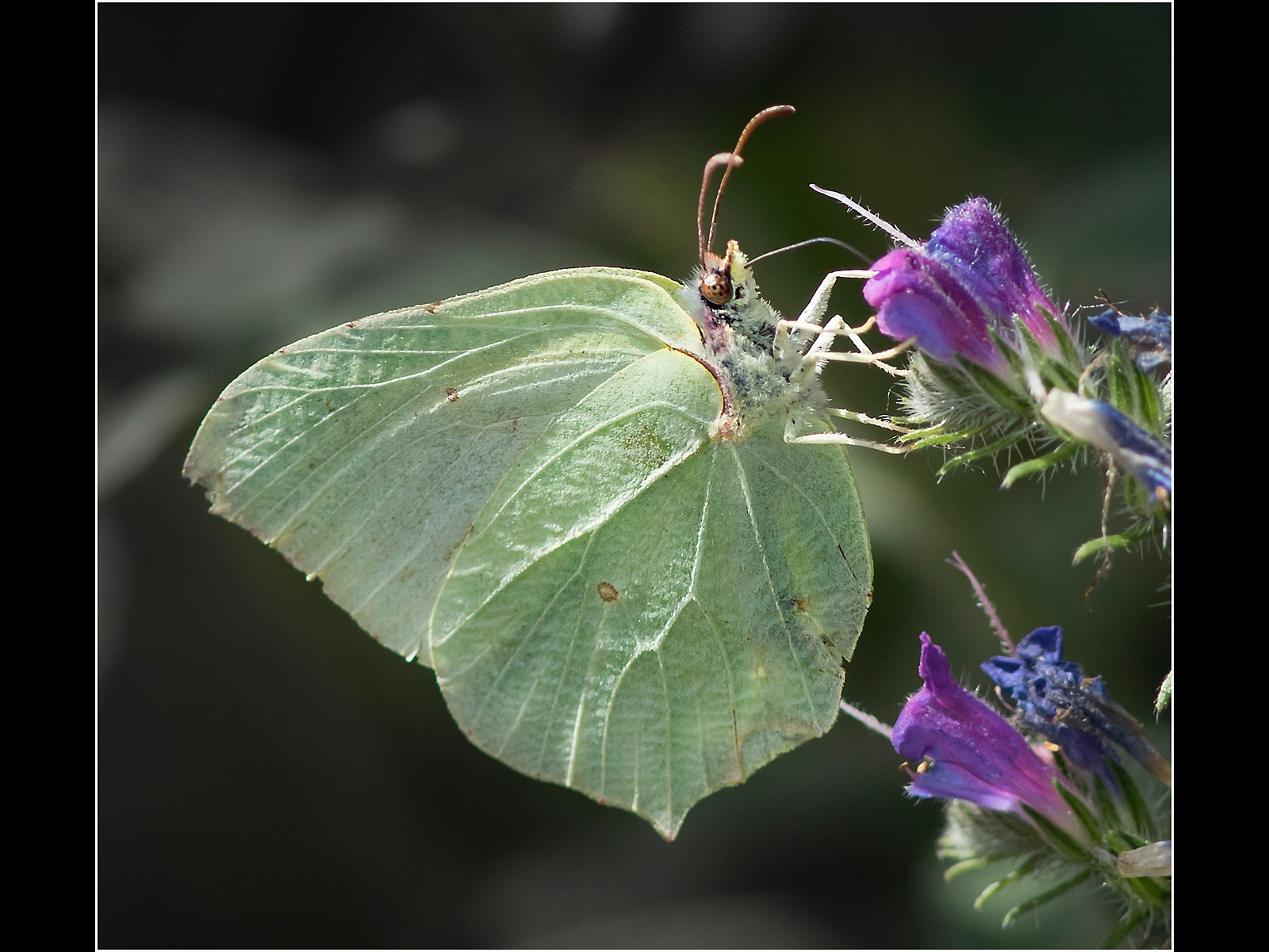 Brimstone on Vipers Bugloss