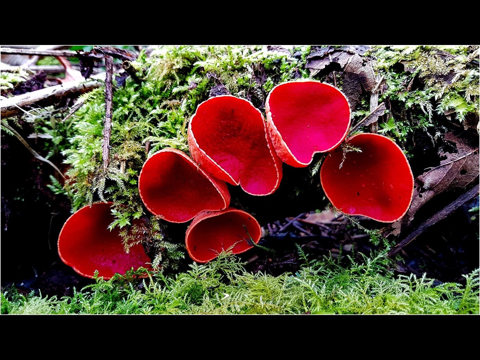 Safron Elf Cup Fungi