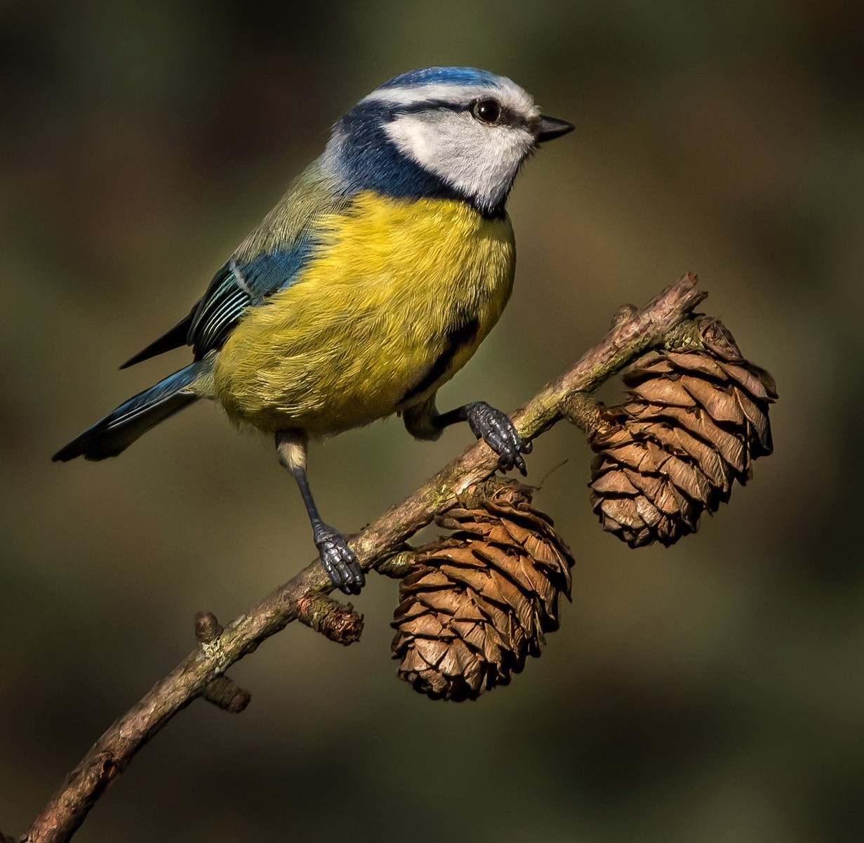Bluetit in a pine cone twig