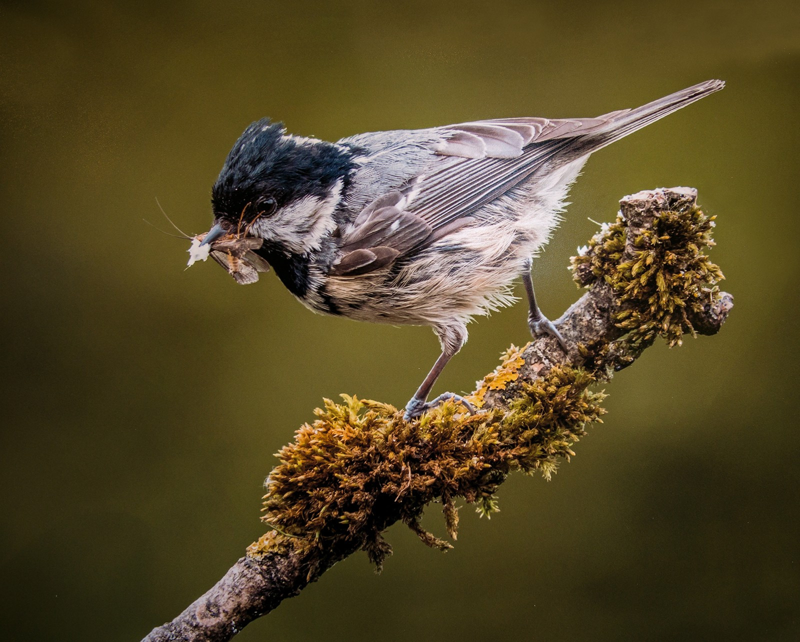 Coal Tit with prey
