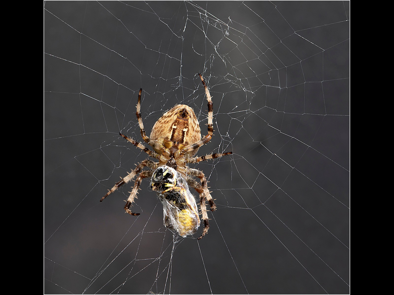 Orb Weaver Spider with Wasp Prey