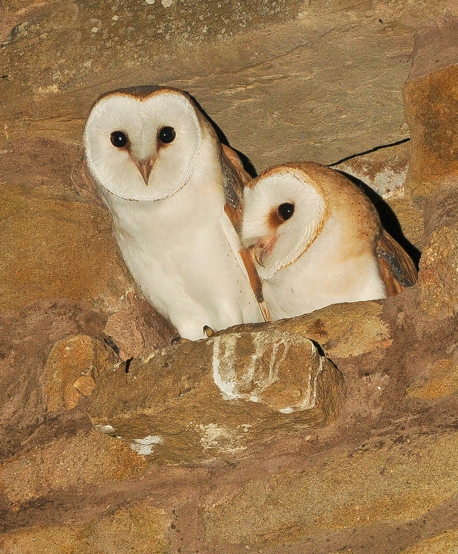 Juvenille Barn Owl