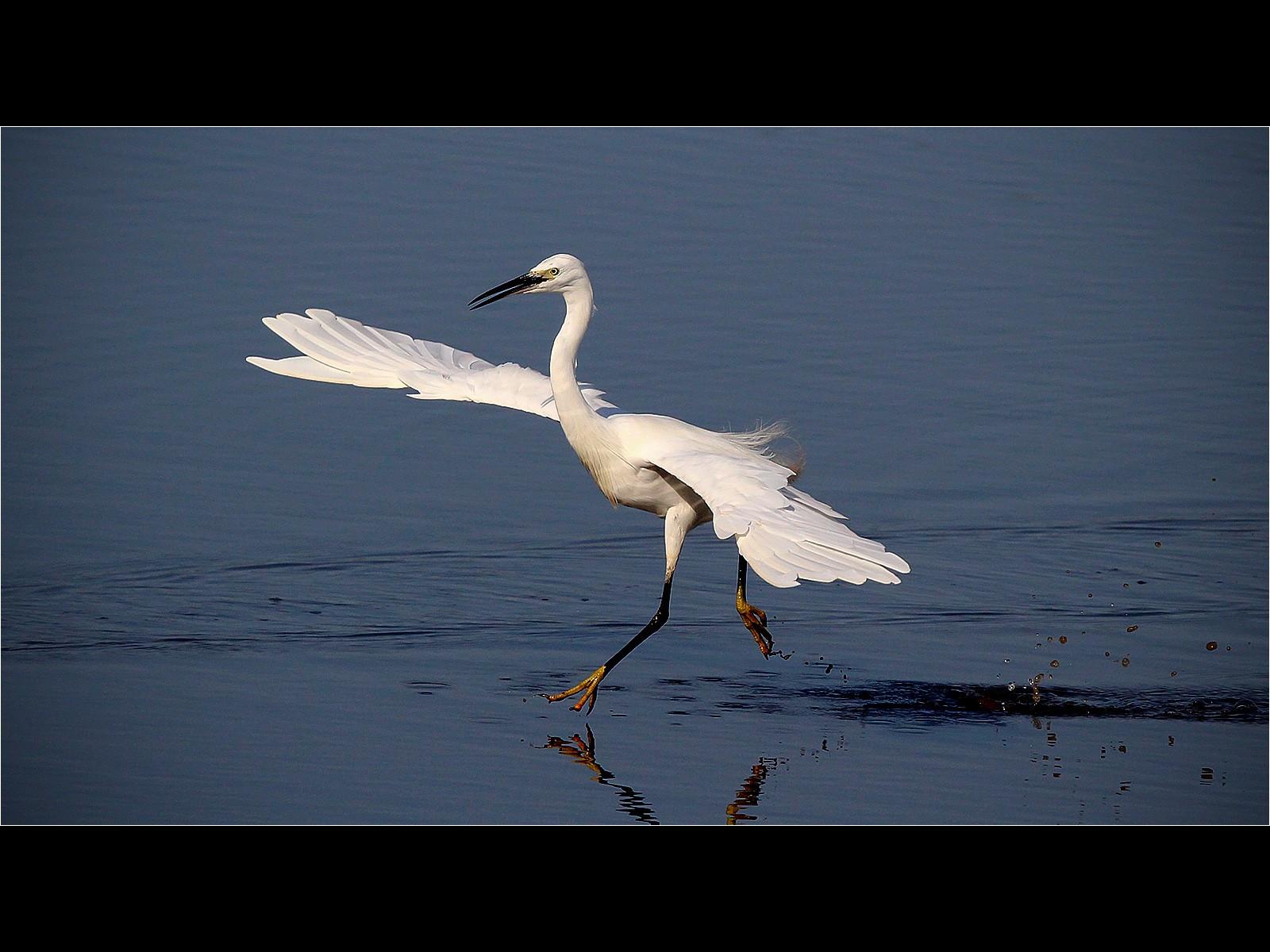 Large Egret