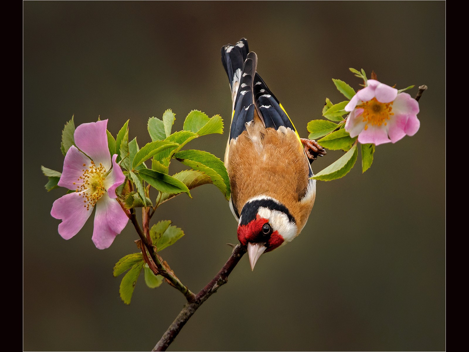 Gold finch on a Wildrose .