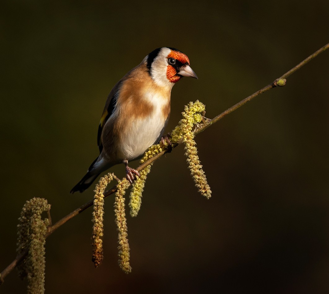 Goldfinch on Catkins twig.