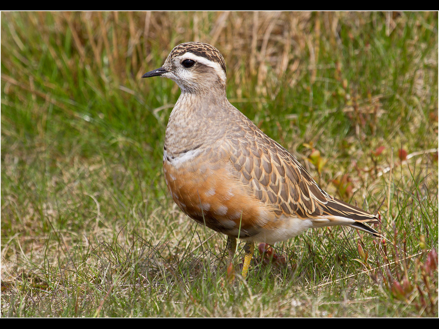 Dotterel, Migrant visitor to Pendle