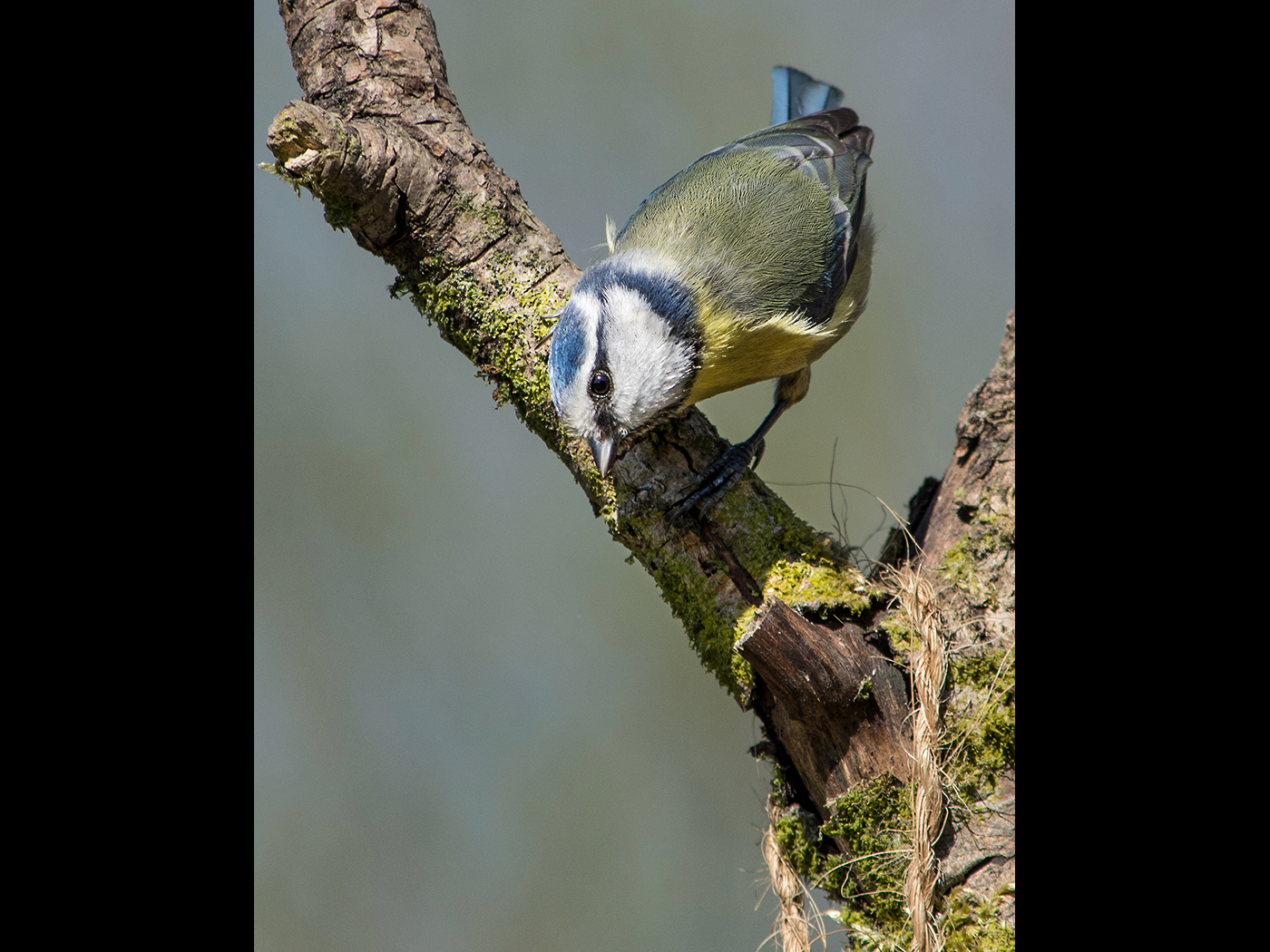 Inquisitve Blue Tit