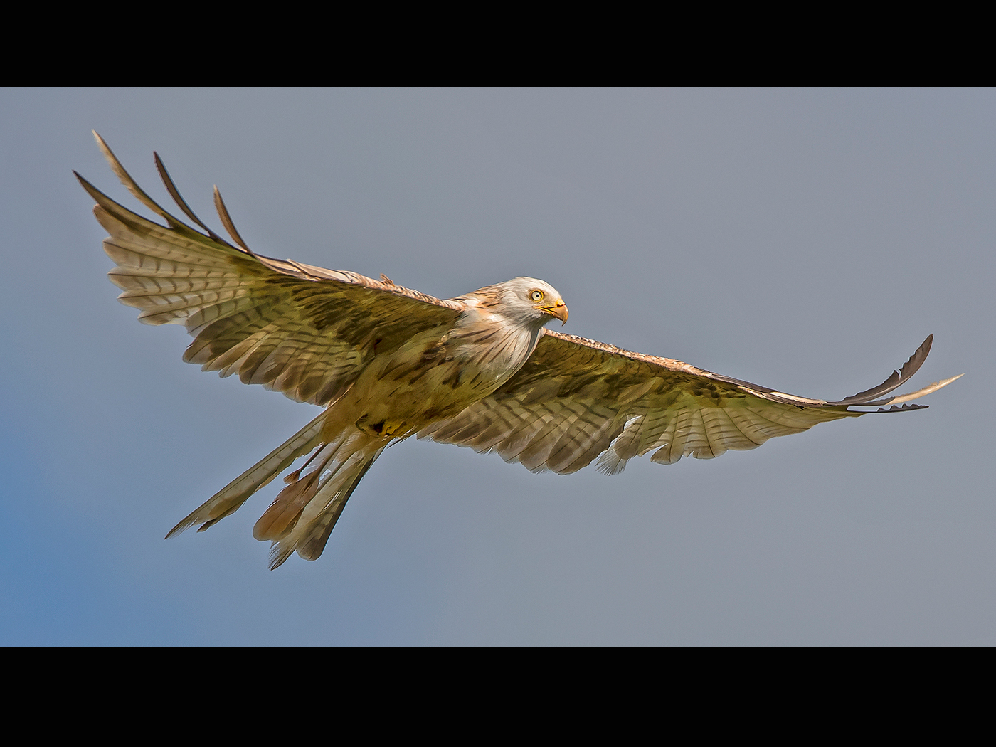 Leucistic Red Kite