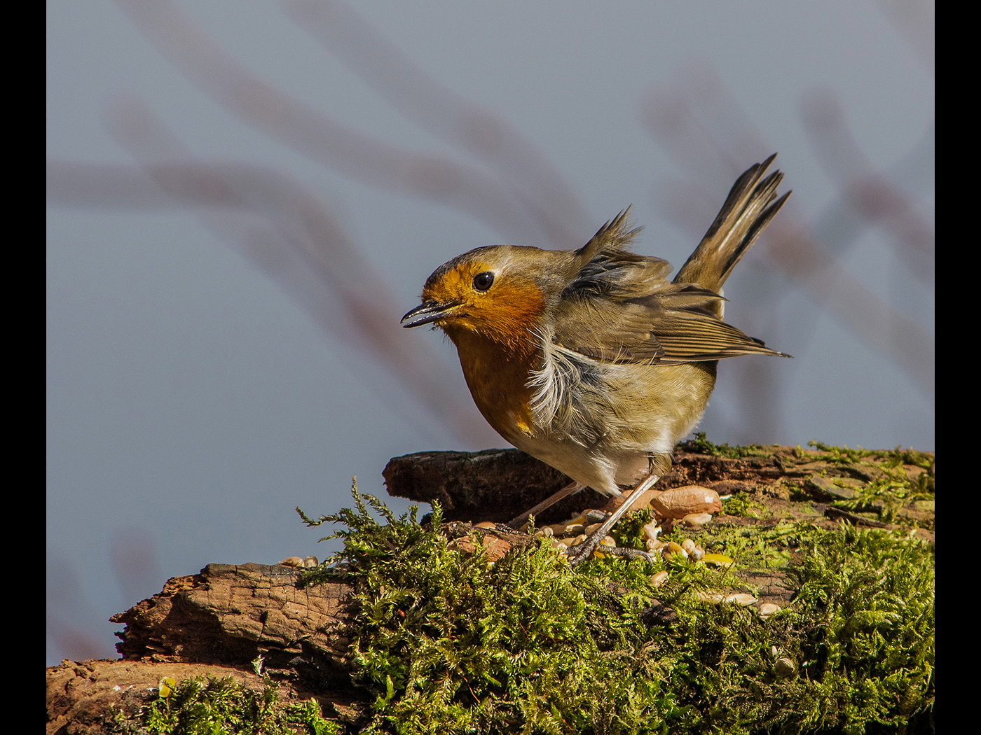 Wind Blown Robin