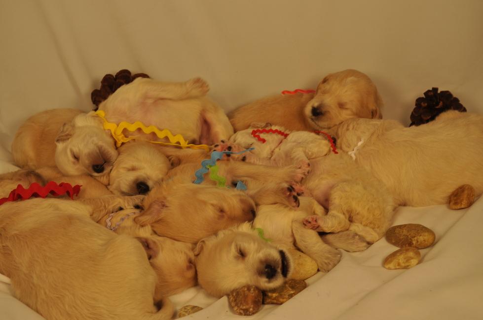 Goldendoodle Puppy Puppies Miniature Medium Standard