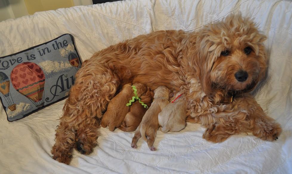 Goldendoodles Full Grown