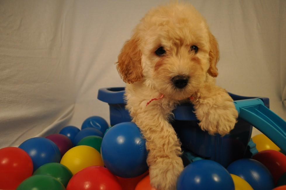 F1b F2b F3 Miniature Medium Standard Goldendoodle Puppy
