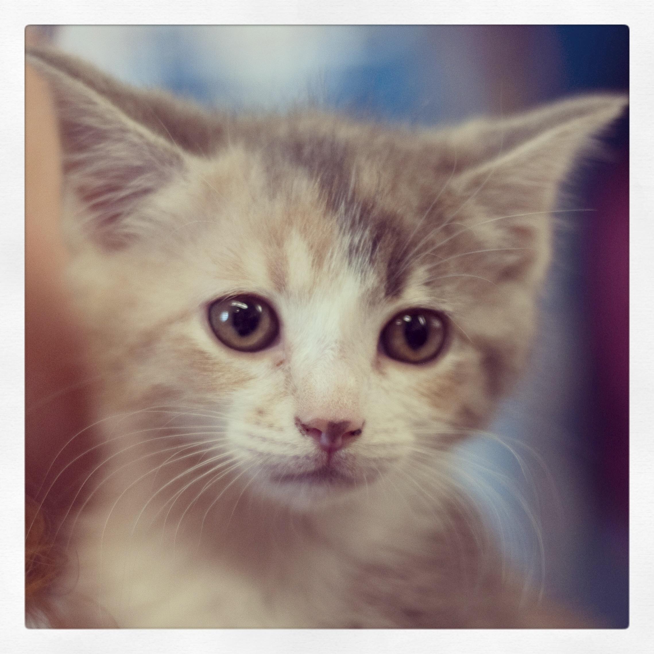 dark gray kitten