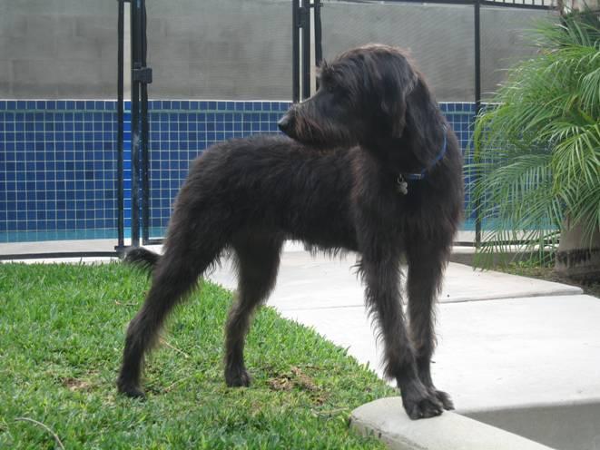 Doodleman Pinscher Information Dog Breeds At Newpetowners