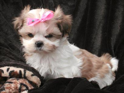 shih tzu colors