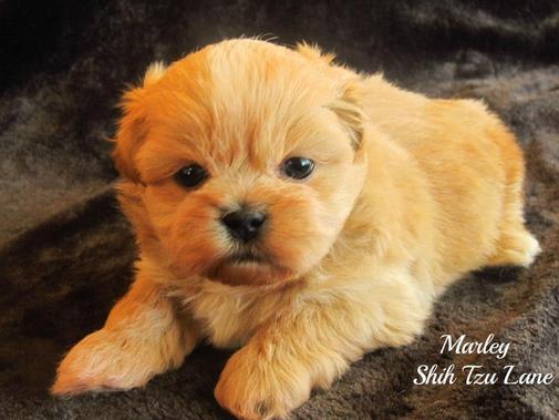 Shih Tzu Lane Alabama Breeder Of Rare And Exotic Shih Tzu Puppies