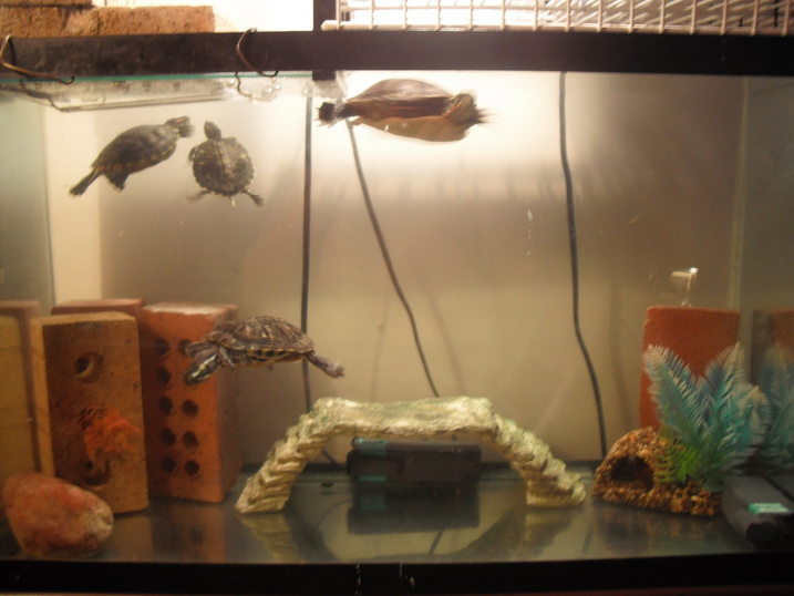 Turtle In Fish Tank : About Turtles Questions
