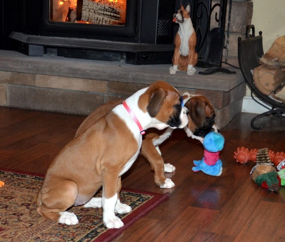 AKC Registered Boxer Puppies | Champion Bloodlines