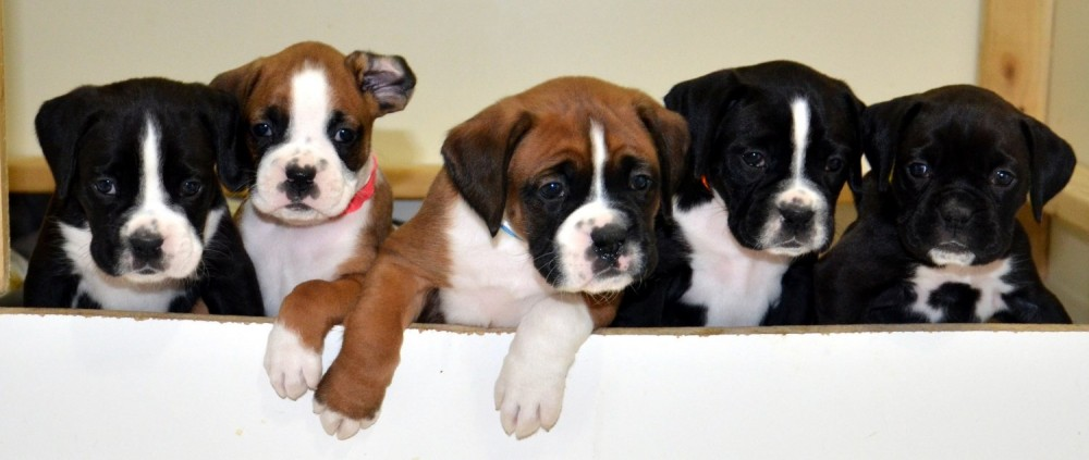 AKC Registered Boxer Puppies | Champion Bloodlines