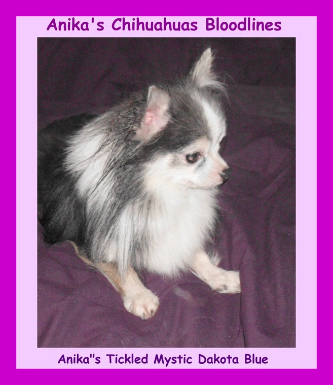 blue-chihuahua, images-of-blue-chihuahuas, pictures, longcoat,longhaired,blue-chihuahua-image-results,anika-chihuahuas