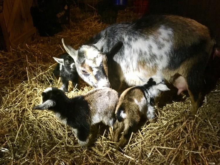 Willow Pond Farm Nigerian Dwarf Goats