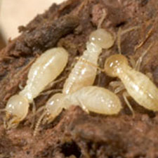 Termite Treatment Image