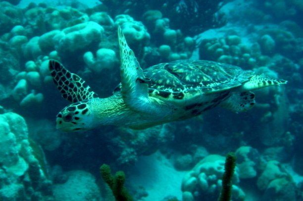 Hawks Bill Turtles dive for Free