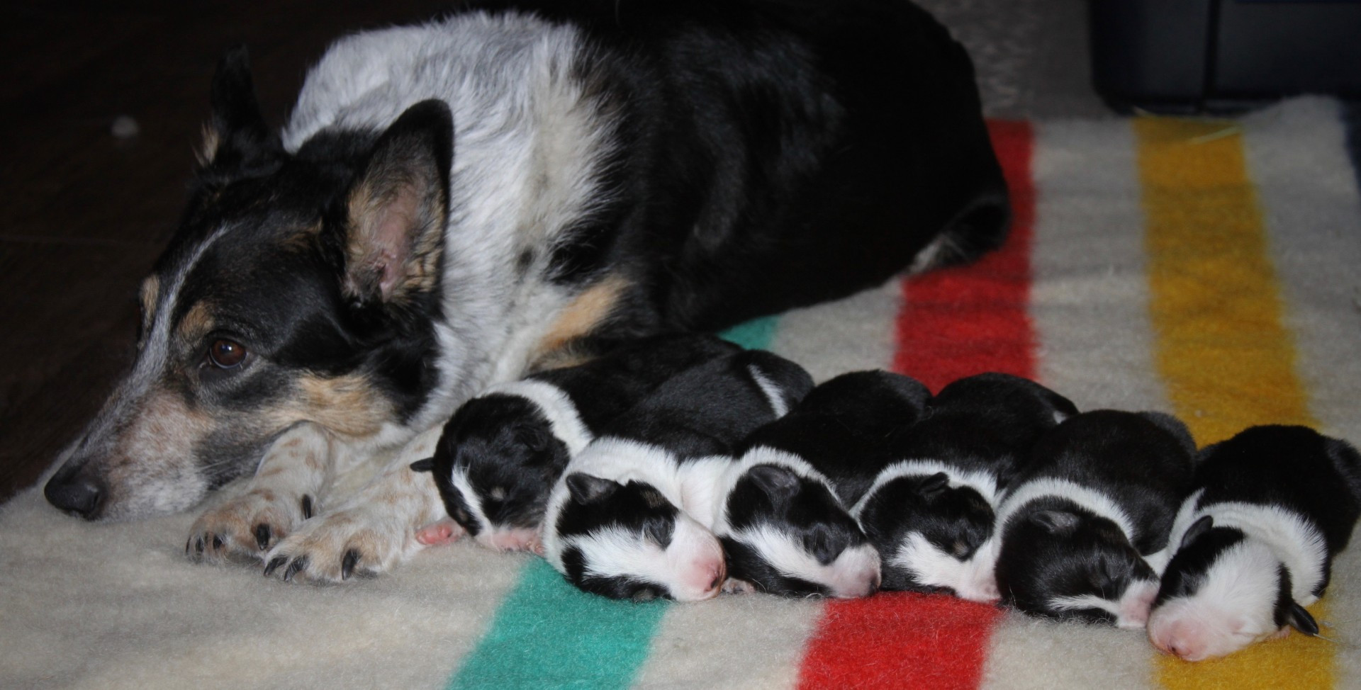 Canine Solutions - Border Collie Breeders - Puppies for Sale - Alberta