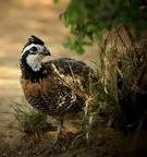 quail guides