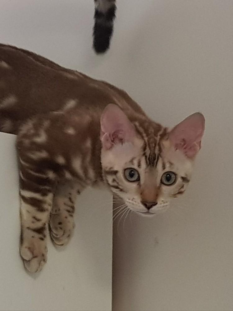 Bengal Cats Sydney Sale