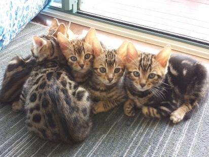 Kinglake Bengals - bengal kittens for sale Gold Coast Australia