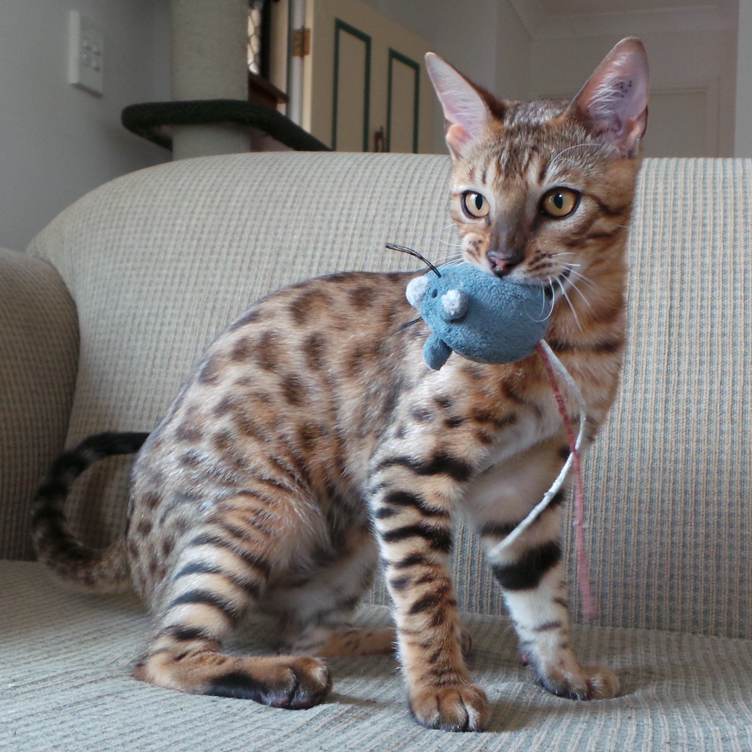 Kinglake Bengals - bengal kittens for sale Gold Coast Australia