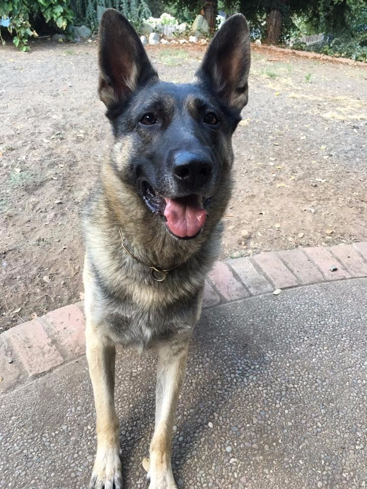 Retired Police Trained Dogs For Sale