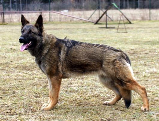 Vom Haus Middleton German Shepherd Puppies for sale