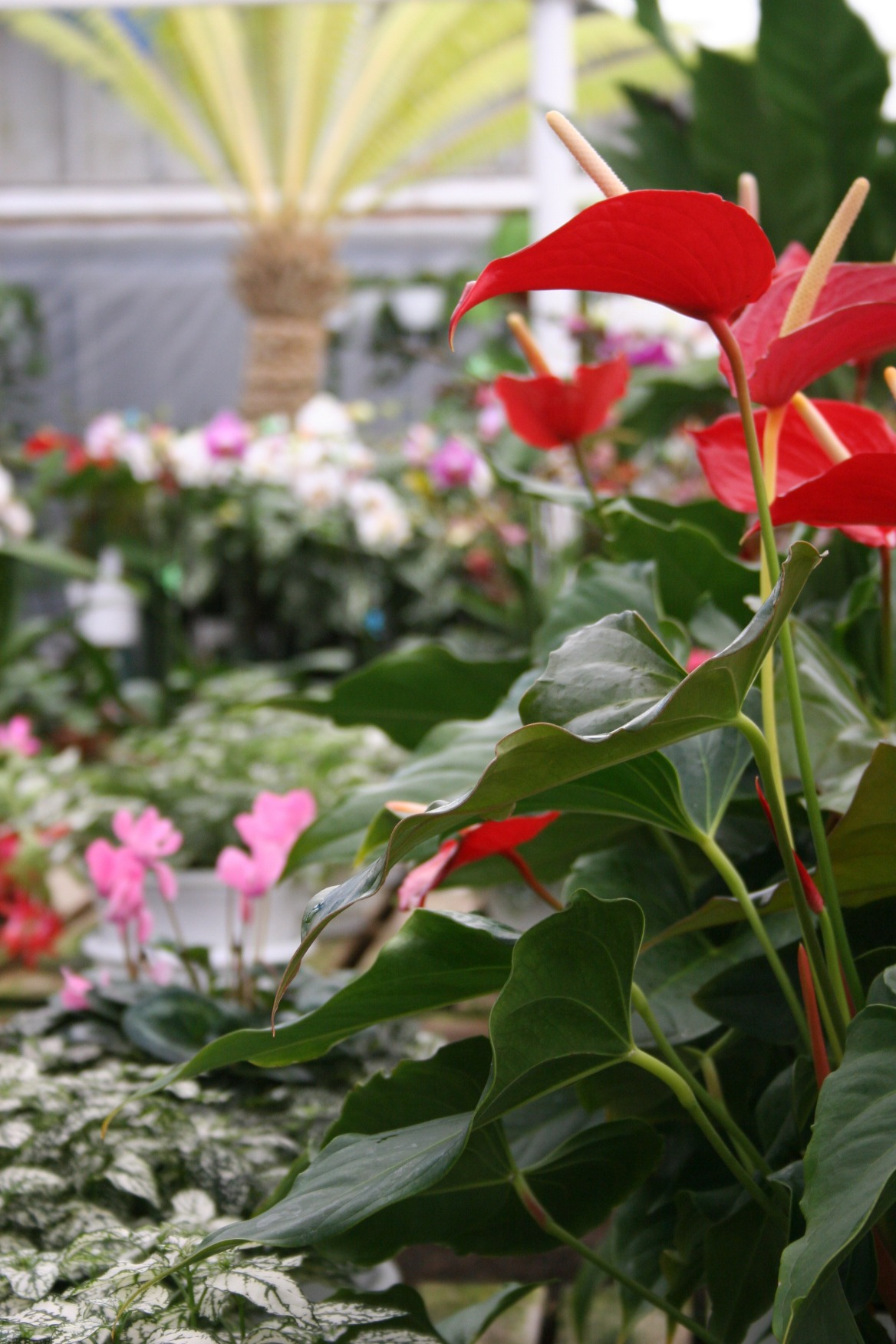 Greenhouse Florals-Anthurium