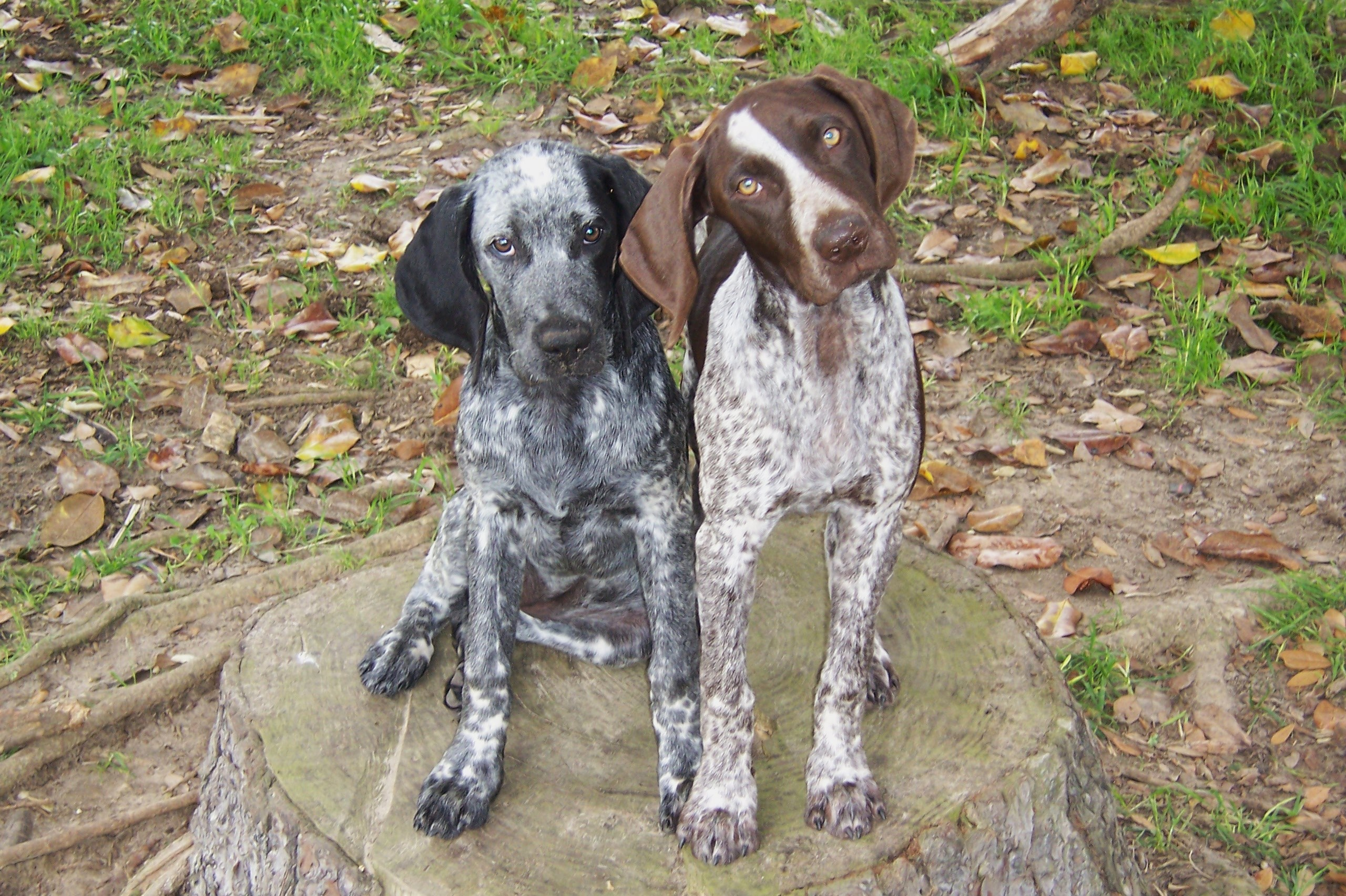 German Shorthair Pointer, Dog Breeders and Dog Training ...  |Black Ticked German Shorthaired Pointer Puppies