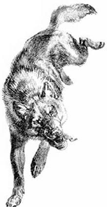 ответном гугл фото илюстрации к произведению сентона томпса лобо узнать