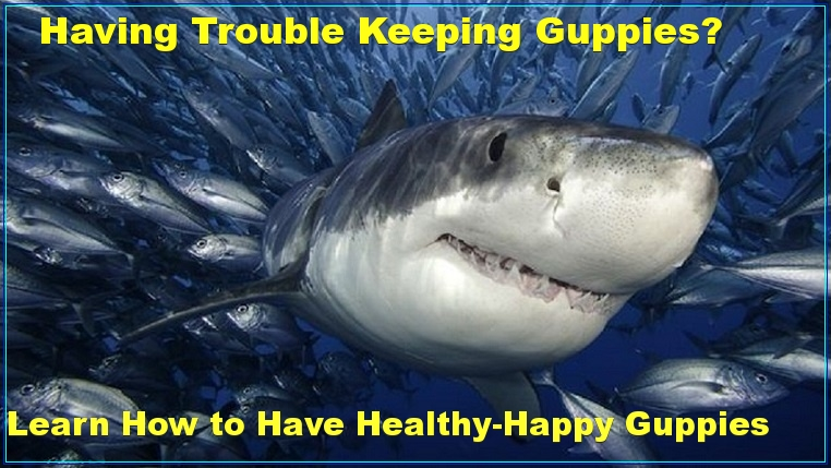 trouble keeing happy healthy guppies