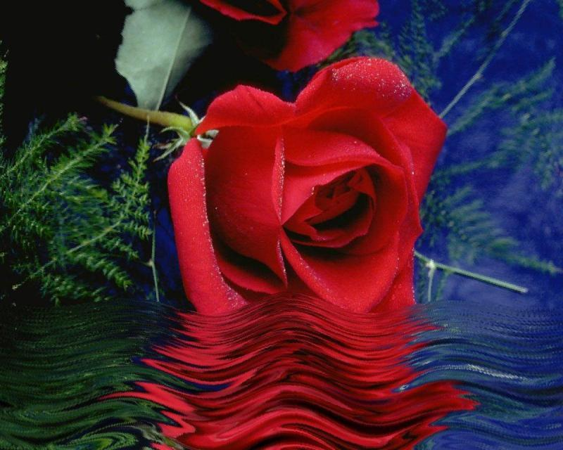 red rose with water shadow