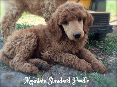Mountain Standard Poodle High Quality Akc Standard Poodles