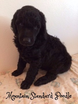 Mountain Standard Poodle